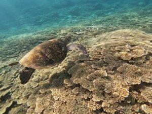 八丈島の海 八丈ブルー 透明度 ウミガメ