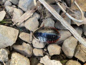 八丈島 虫 サツマゴキブリ
